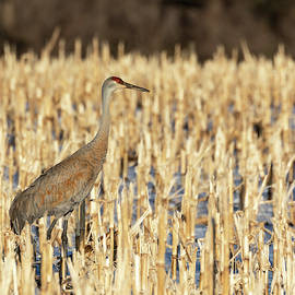 Sandhill Crane 2019-1 by Thomas Young