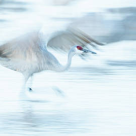 Judi Dressler - Sandhill Crane taking off -- Motion Blur