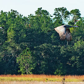 Sandhill Cranes Take Flight Ocala National Forest Florida by Lawrence S Richardson Jr