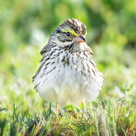Savannah Sparrow 02 by Judy Tomlinson