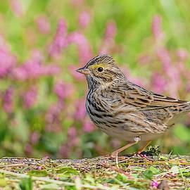 Savannah Sparrow In Autumn by Morris Finkelstein