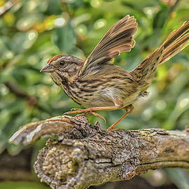 Savannah Sparrow Wings 1 by Linda Brody