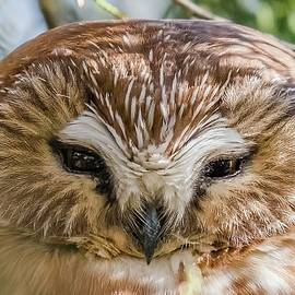 Morris Finkelstein - Saw-Whet Owl Close Up