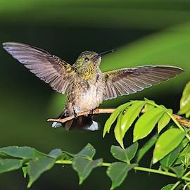 Scaly-breasted Hummingbird Wings Open by Marlin and Laura Hum