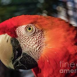 Scarlet macaw portrait by Lyl Dil Creations