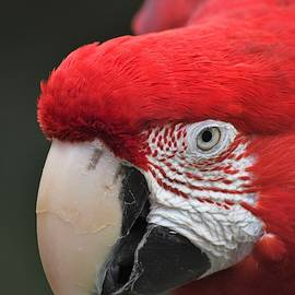 Scarlet Macaw with Beak and Face Detail by Richard Bryce and Family