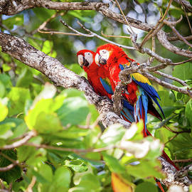 Scarlet macaws in Costa Rican forest by Alexey Stiop