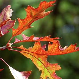 Scarlet Oak Leaves by Lyuba Filatova
