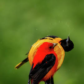 Scarlet tanager and Baltimore oriole by Jeffrey Campbell