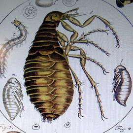 Scientific Drawing Of A Flea by Steve Estvanik