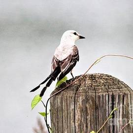 Scissor Tailed Flycatcher by Kathy White