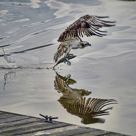Osprey With Fish at the Marina by Cordia Murphy