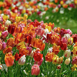 Sea of Tulips by Mary Ann Artz