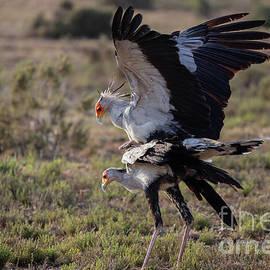 Secretary Birds Mating by Eva Lechner