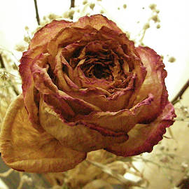 Sepia Rose Open by Dennis Burton