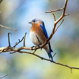 Serene Bluebird by Mary Ann Artz