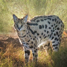 Serval at Sunrise by TL Wilson Photography by Teresa Wilson