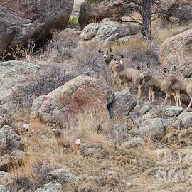 Seven Mule Deer by James BO Insogna