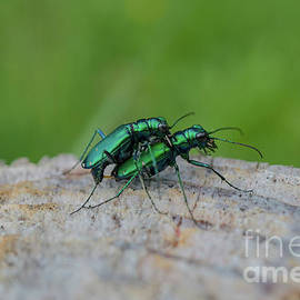 Sexy Green Beetles by Linda Howes
