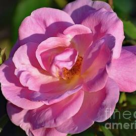 Shadows And Petals - Peachy Knock Out Rose by Cindy Treger