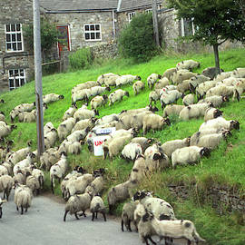 Sheep in the Street by Jerry Griffin