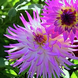 Shining Dahlias in Pink by Cathy Anderson