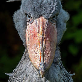 Shoe-billed Stork by Arterra Picture Library