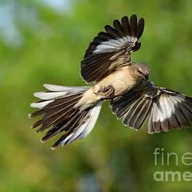 Showoff Northern Mockingbird by Cindy Treger