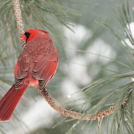Shy Male Cardinal by Deb McPherson