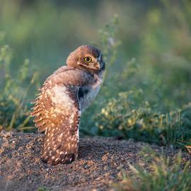 Shy young burrowing owl by Judi Dressler