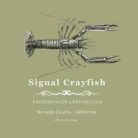 Signal Crayfish by Lisa Redfern