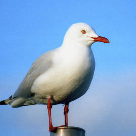 Silver Gull, Australia by Jerry Griffin