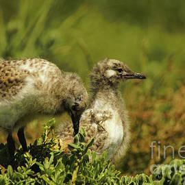 Silver Gull Chicks by Cassandra Buckley