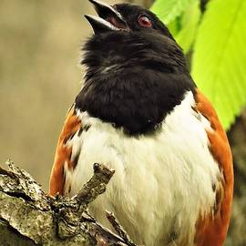 Singing Towhee  by Lori Frisch