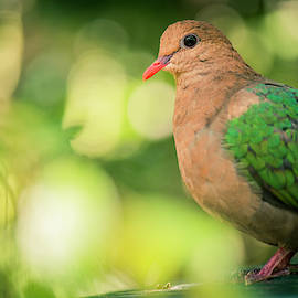 Single Colourful Dove Resting by Rob D Imagery