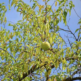 Single Hedge Apple On Tree by Ruth Housley