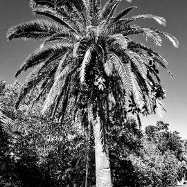 Single Palm Tree Black And White by Rachel Hannah