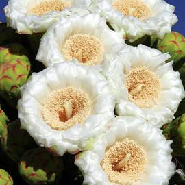 Six Saguaro Flowers by Douglas Taylor