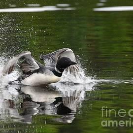 Skimming Loon by Steve Brown