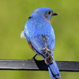 Sky Blue Male Eastern Bluebird by Cindy Treger