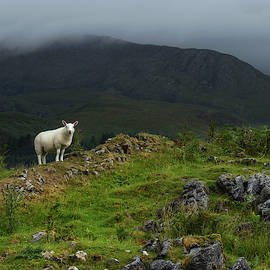 Skye Ewe by Sue Cullumber