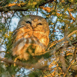 Sleepy Saw-Whet Owl At Sunrise by Morris Finkelstein