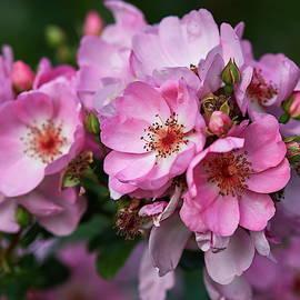 Slowly they are vanishing. Rose Sweet Haze by Jouko Lehto