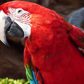 Smart Red-and-green Macaw Parrot by Lyuba Filatova