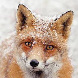 Snow Fox Series -Foxy Face II by Roeselien Raimond