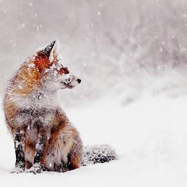 Roeselien Raimond - Snow Fox Series - Red Fox Sitting in a snow world