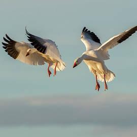 Judi Dressler - Snow Geese Landing