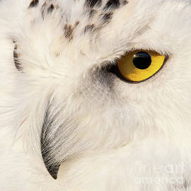 Snow Owl Eye by Eyeshine Photography
