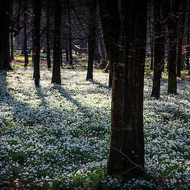 Snowdrops At Welford by Framing Places