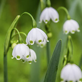 Snowdrops by Dawn Richards